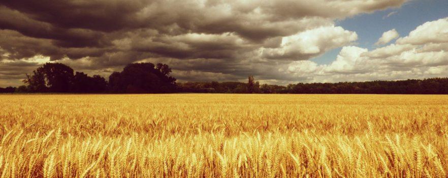 Самое главное о ростках пшеницы